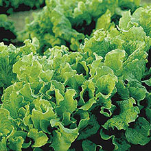 Black-Seeded Simpson Leaf Lettuce