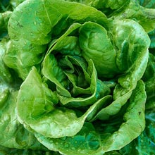 Buttercrunch Head Lettuce