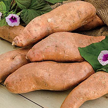 Georgia Jet Sweet Potato