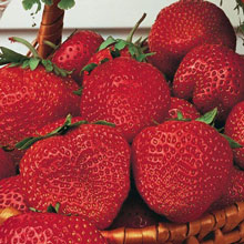 Gurney's® Whopper Strawberries
