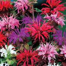 Mixed Bee Balm