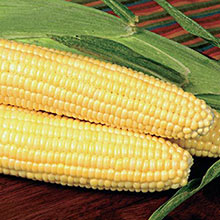 Bodacious RM (se) Sugary-Enhanced Hybrid Sweet Corn