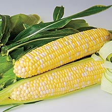 Sweetness (sy) Synergistic Hybrid Sweet Corn