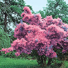 Purple Smoketree