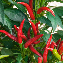 Thai Super Chili Hybrid Hot Pepper