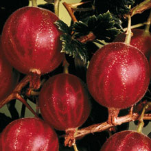 Hinnomaki Red Gooseberry