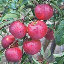 Pixie Crunch™ Apple Tree