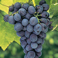 Seedless Concord Grape