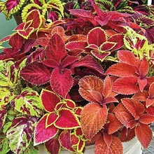 Wizard Coleus Mix
