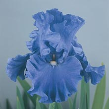 Jazz Me Blue German Iris