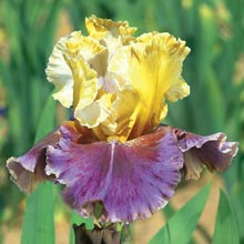 Final Episode Reblooming German Iris