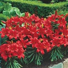 Red Storm Border Lilies