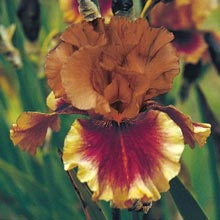 Apollodorus Classic German Iris