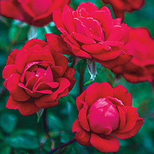 Red Double Knock Out® Rose