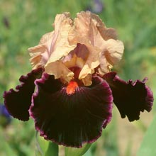 Moroccan Magic German Iris