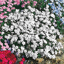 White Delight Creeping Phlox