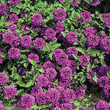 Homestead Purple Creeping Verbena