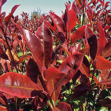 Dynamo Red Photinia