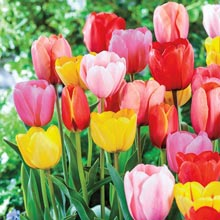Mixed Long-Stemmed Perennial Tulips