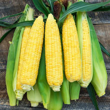 Inferno (sy) Synergistic Hybrid Sweet Corn