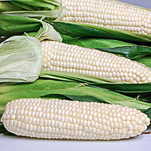 Eden (sh2) Super-Sweet Hybrid Corn