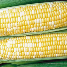 Honey 'n Pearl (sh2) Super-Sweet Hybrid Corn