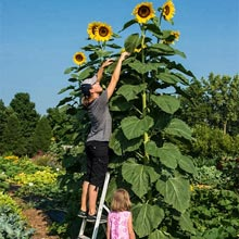Sunflower American Giant PKT