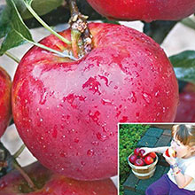Pixie Crunch™ Reachables™ Apple Tree