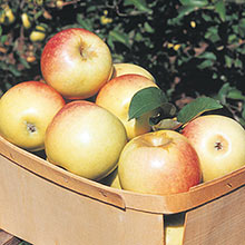 Sundance™ Reachables™ Apple Tree