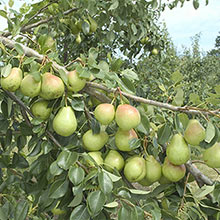 Crisp 'n Sweet™ Reachables™ Pear Tree