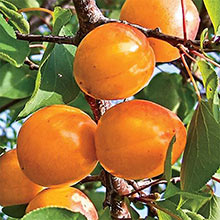 Honey Pearls™ Reachables™ Nectacot Tree