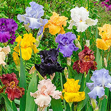 Tall Bearded Iris Grab Bag