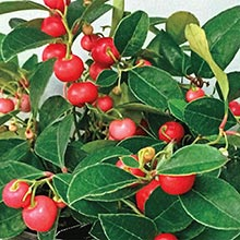 Berry Cascade™ Wintergreen