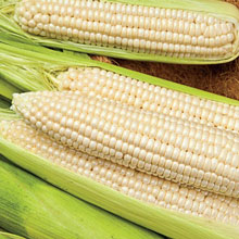 Gotta Have It® White Hybrid Sweet Corn