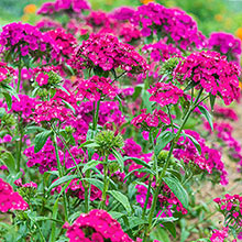 Amazon Neon Duo Dianthus