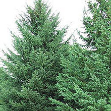 Black Hill Spruce Tree