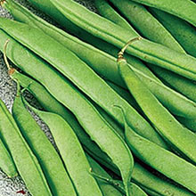 Kentucky Blue Pole Bean