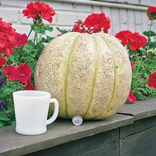 Gurney's® Giant Improved Hybrid Cantaloupe