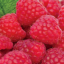 Crimson Giant Raspberry
