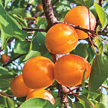 Honey Pearls™  Nectacot™ Tree