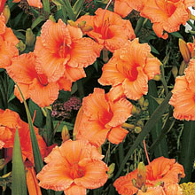 Daylily Dwarf Double Persimmon
