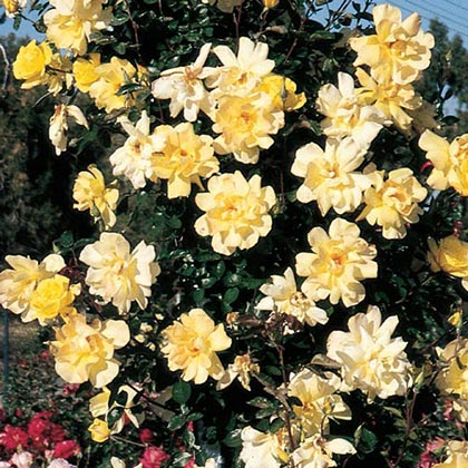 Golden Showers Climbing Rose