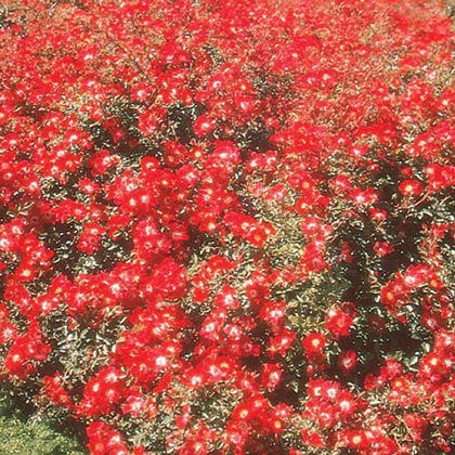 Red Meidiland Groundcover Rose