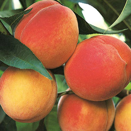 Belle of Georgia Peach Tree