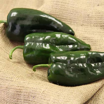 Masivo Hybrid Hot Pepper