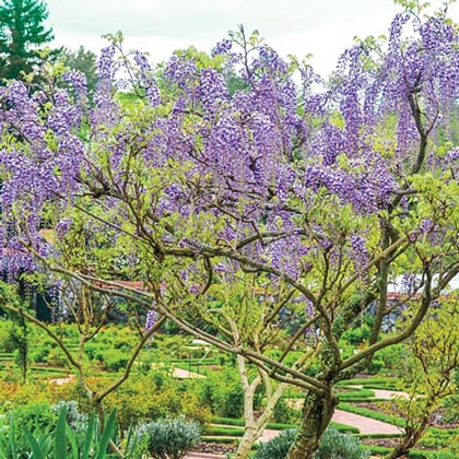 Blue Wisteria Tree