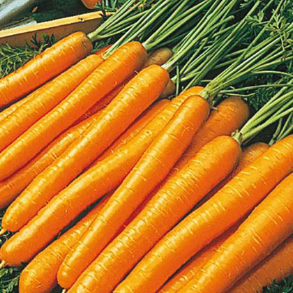 Tendersweet Carrots