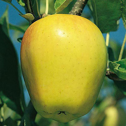 Golden Delicious Apple Tree