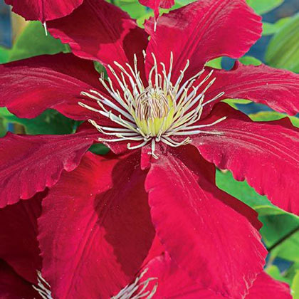 Rebecca™ Clematis
