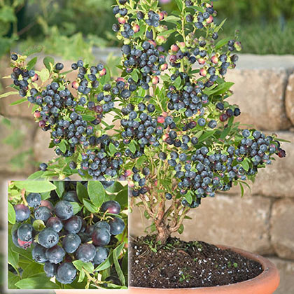 Blueberry Dwarf Northsky